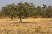 Grassland supporting an Acacia Tree