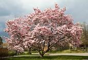 State tree: Magnolia