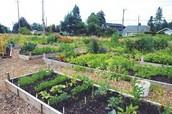 Community Garden Emerges