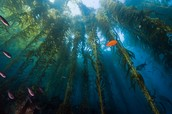 Where is the Kelp forest located?