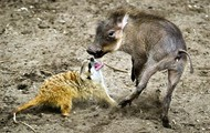 Pumba and Timon in Real Life