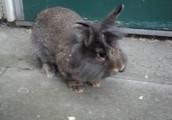 Alvin the rabbit champ