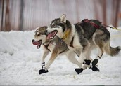 Action shot of huskys running