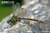 Edmund's Snaketail Dragonfly