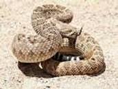 The Western Diamondback Rattlesnake