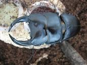 왕사슴벌레 판매