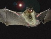 Gray bats are 3-4 inches in length