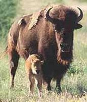 Bison
