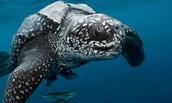 Swimming Leatherback
