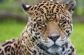 lazy jaguar