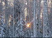 Life in the coniferous forest