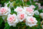 State Flower- Rose