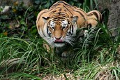 Tigers stalk their prey.
