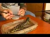 feeding a tiger salamander