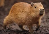 Capybara/ Carpincho