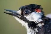 Male Red- Cockaded Woodpecker