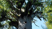 A picture of the tree New Zealands believe to be the God Tanemahuta