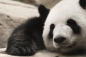 pandas and red pandas!