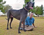 This the biggest Great Dane