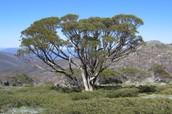 Gum Tree Eucalyptus