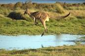 Australias  favorite animal