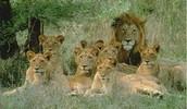 Groep leeuwen