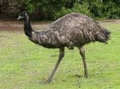 UN EMU CON MANZANAS