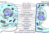 The difference between the animal and plant cells