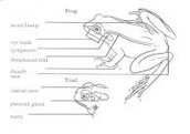 Frogs & Toads ID Traits