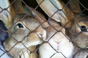Bunnies in a cage