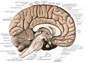 A side view of the brain.