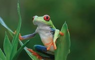 The American Tree Frog