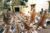 Tiger Pelts