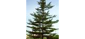 Tree- Eastern White Pine