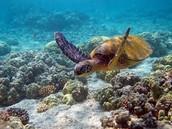 leather back turtles extinction