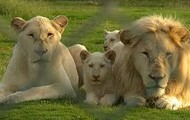 Lions with their families