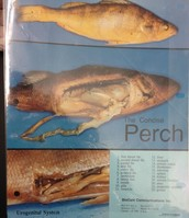 Perch internal anatomy