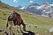 A donkey grazing