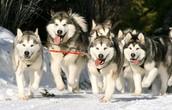 Alaskan malamute (sled dog) racing.