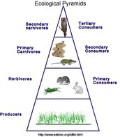 Desert Ecological pyramid