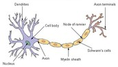 What a neuron looks like.