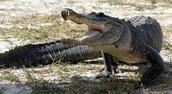crocidle