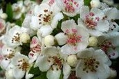 this is white  hawthorn blossom.