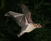 Bats native to Arkansas