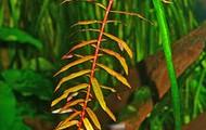 Copper Leaf Ammania  (Ammannia Senegalensis)