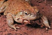The Sonoran Toad