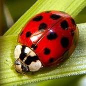 Lila the Ladybug