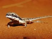 lizards live in the desert