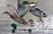 save ducks