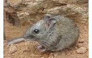 Rock rats